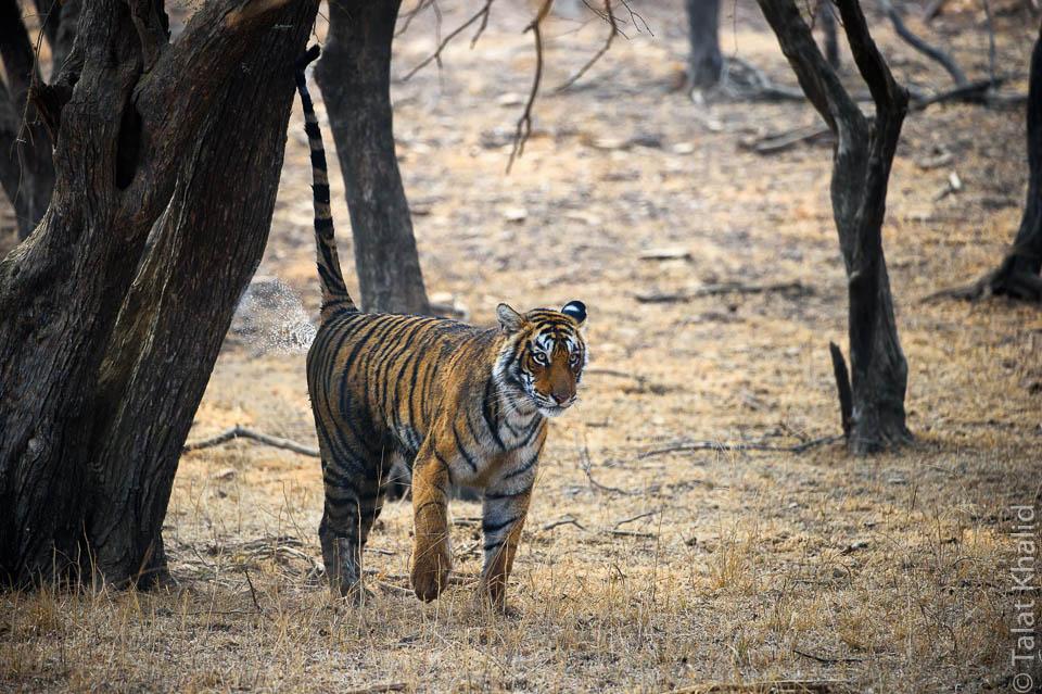 Tigress marking territory in ranthambore