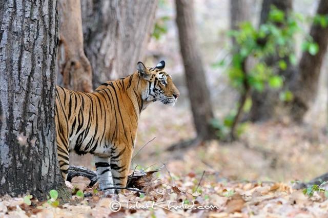Tigress Mirchani from bandhavgarh