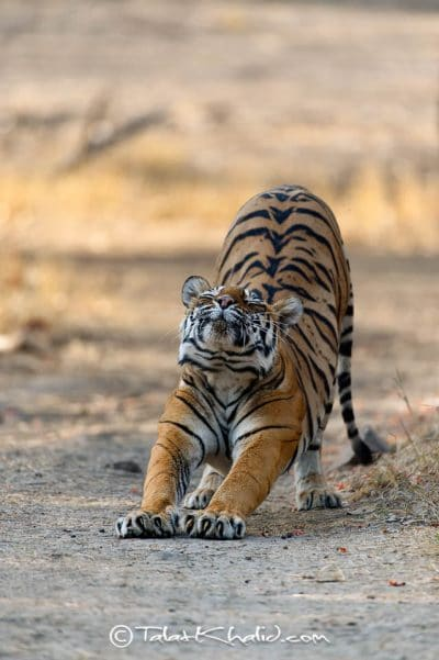 Tigress Stretching - Ranthambore - Tiger Photography