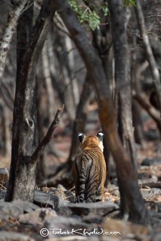 Tigress Noor between Trees at Ranthambore