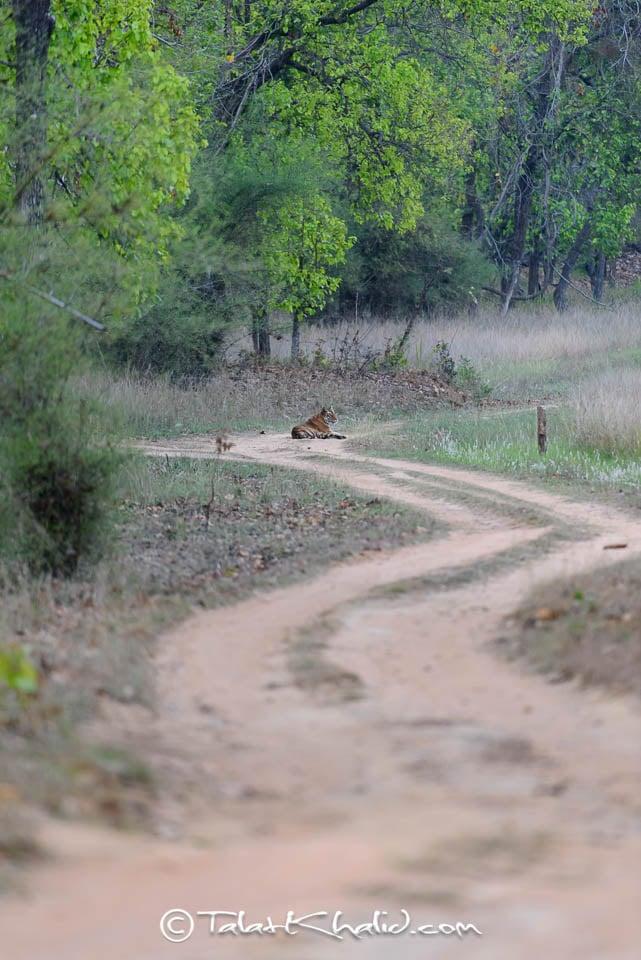 Tigress sitting in bandhavgarh