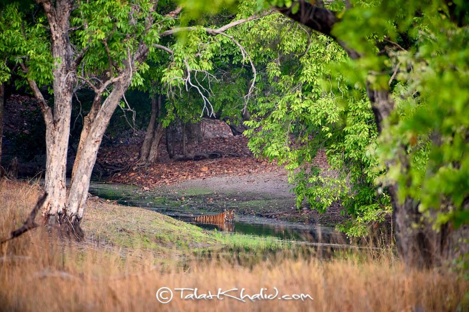 Tigress solo in water under Jamun trees at Bandhavgarh