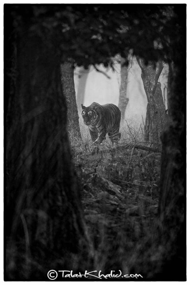 Tigress Noor Monochrome at Ranthambore