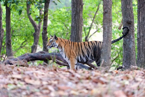 Tigress in forest Focus on Tigers tour