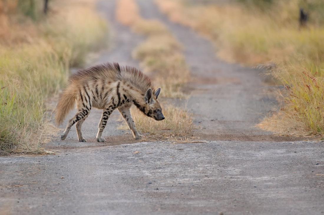 Striped Hyena at Velavadar