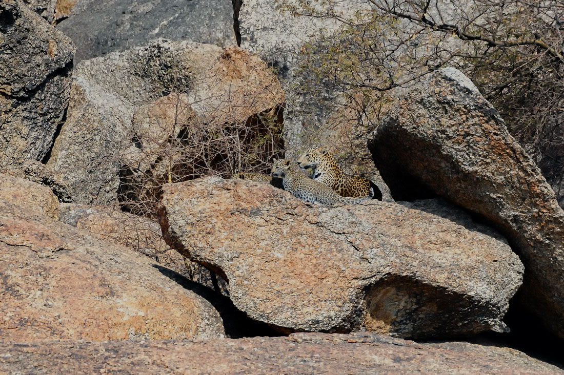 Leopard mother with cub on rocks at jawai bera