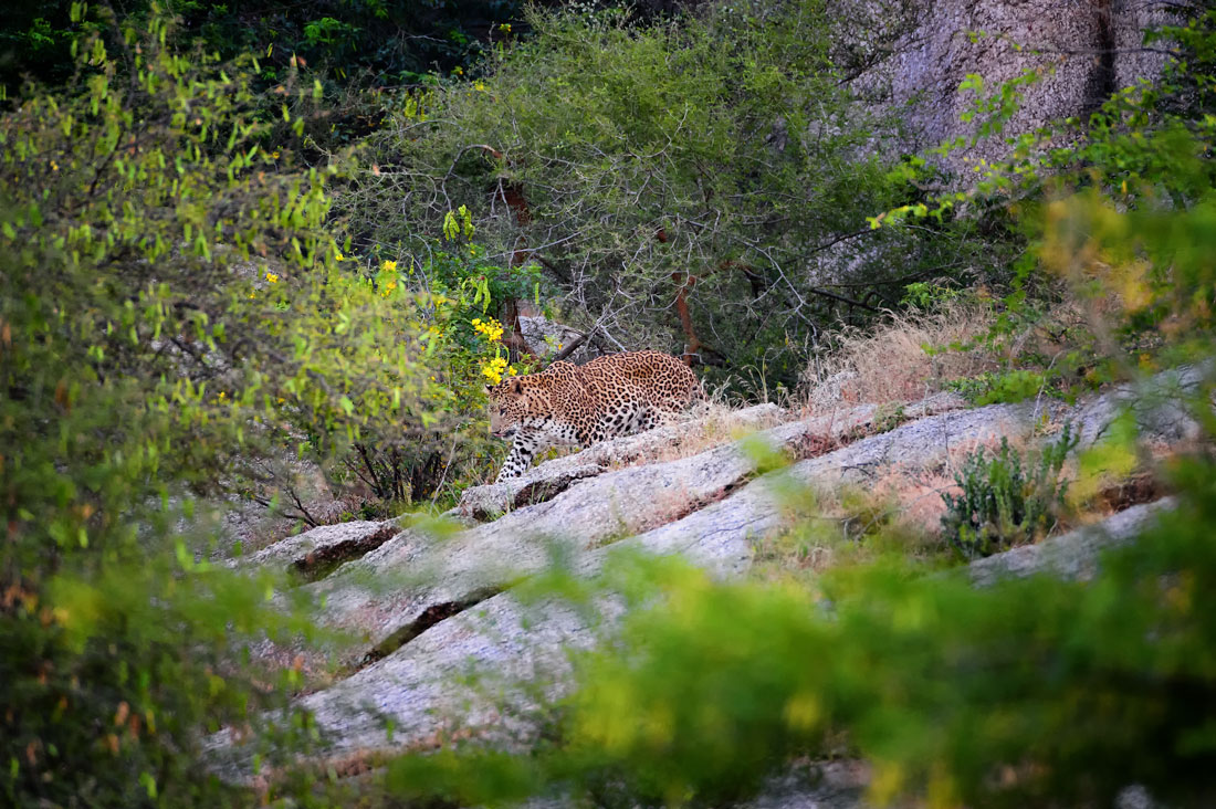 Leopards of Bera and Jawai