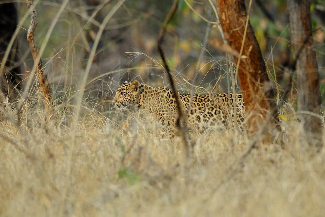 Pench Wildlife Tours - Leopard