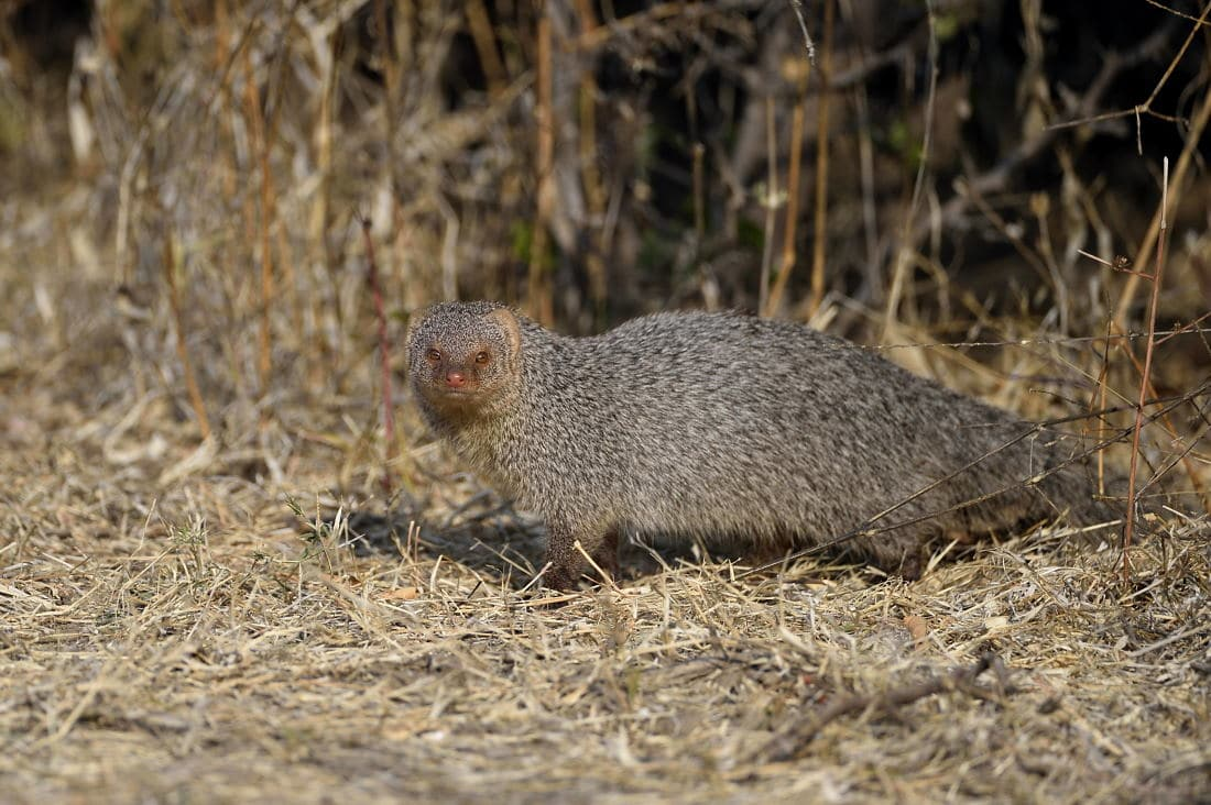 Satpura the Hidden Jewel - Mongoose