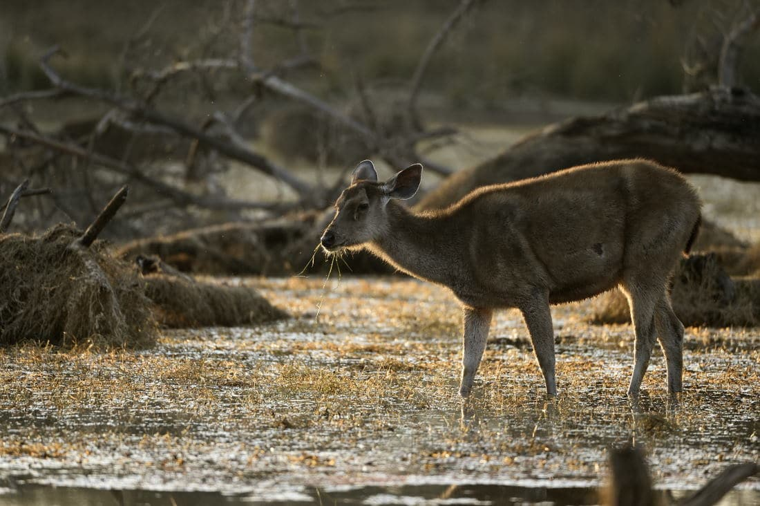 Satpura the Hidden Jewel - Sambar Deer
