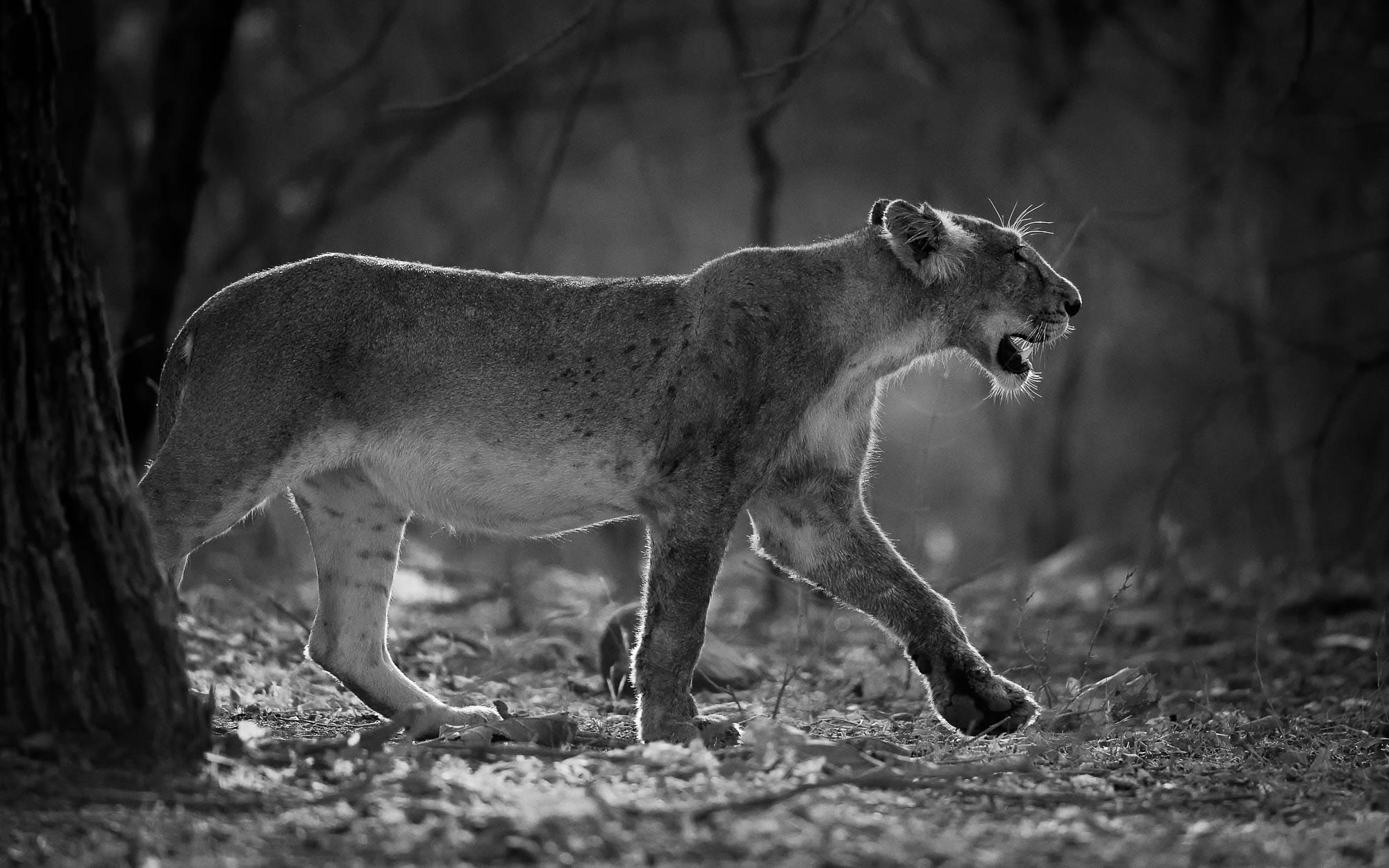 Asiatic Lion BW Gir Tour