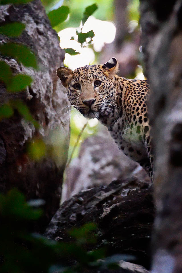 Leopard Peeping - Bandhavgarh - Short Offbeat Wildlife Photography tours