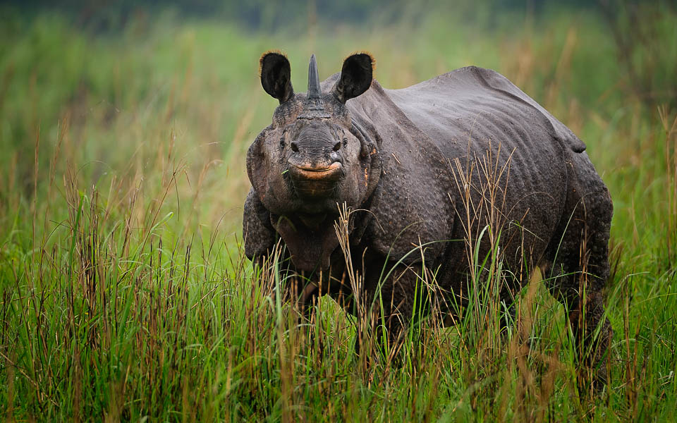 One Horned Rhino - Kaziranga - Wildlife Photography Tours