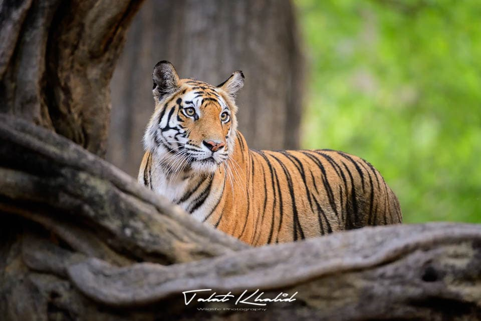 Tigress Stranglers - bandhavgarh - Tiger Photography
