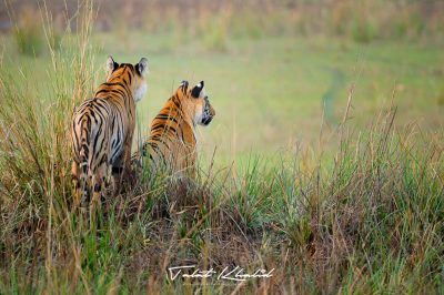 Tiger Siblings - Tadoba - Tiger Photography