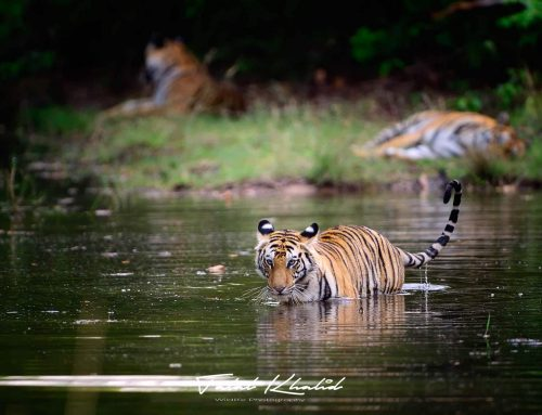 Best time to see and photograph tigers in India