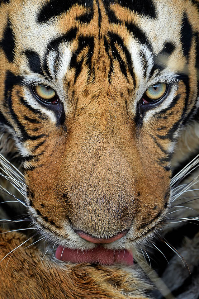 Tiger closeup Portrait - Ranthambore - Tiger Photography Tours