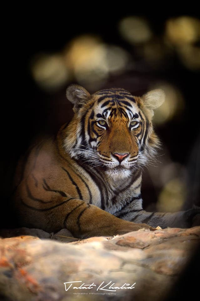 Tiger in Cave - Ranthambore - Tiger Photography