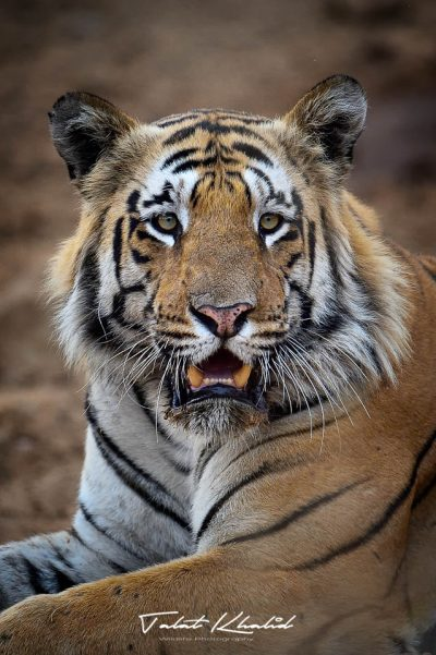 Tiger Portrait - Tadoba - Tiger Photography