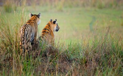 Tiger Siblings - Tadoba - Best Places for Tigers Photography