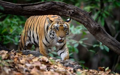 Tiger Stalking in Bandhavgarh - Tiger Photography