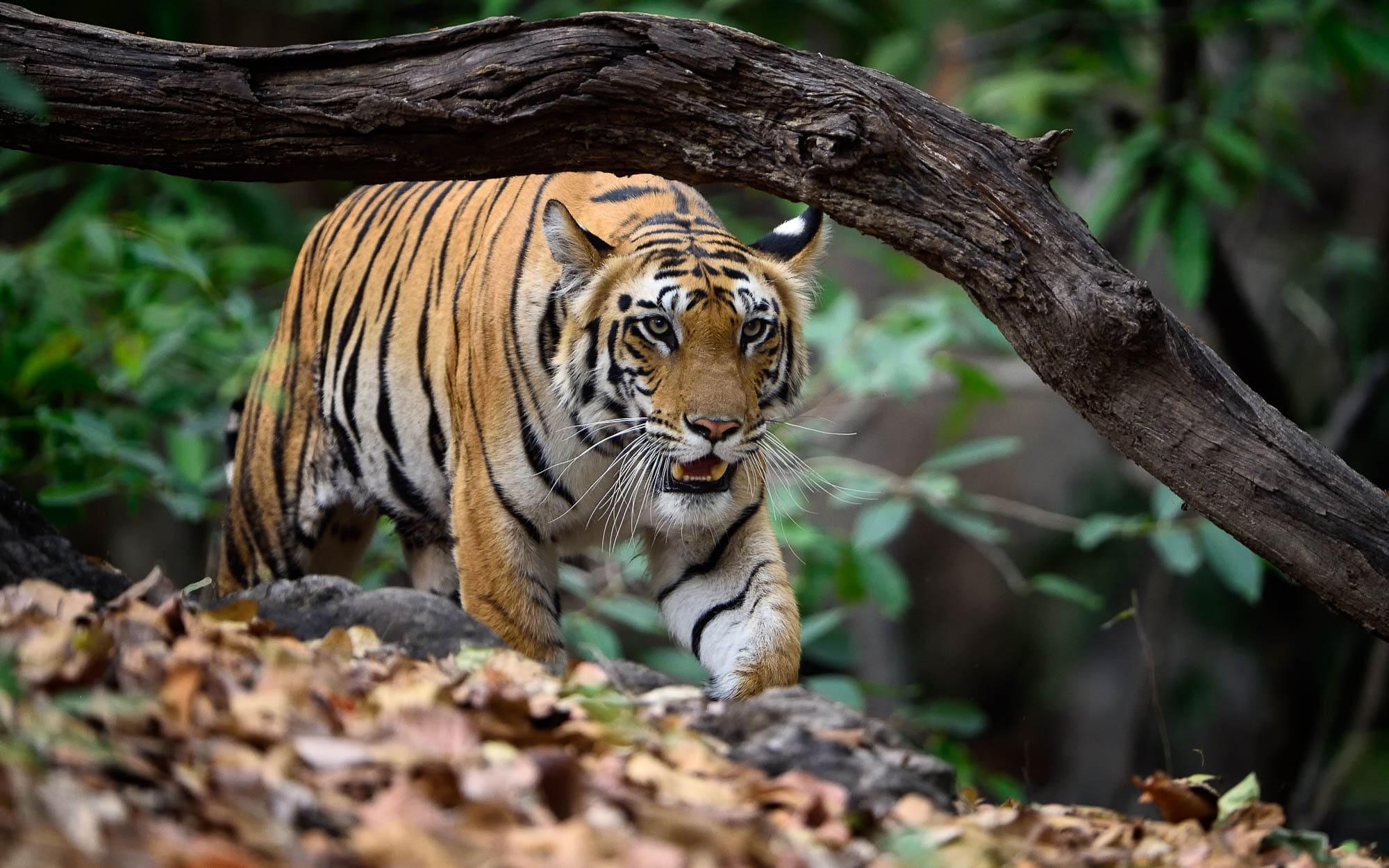 Tiger Stalking Bandhavgarh Tour