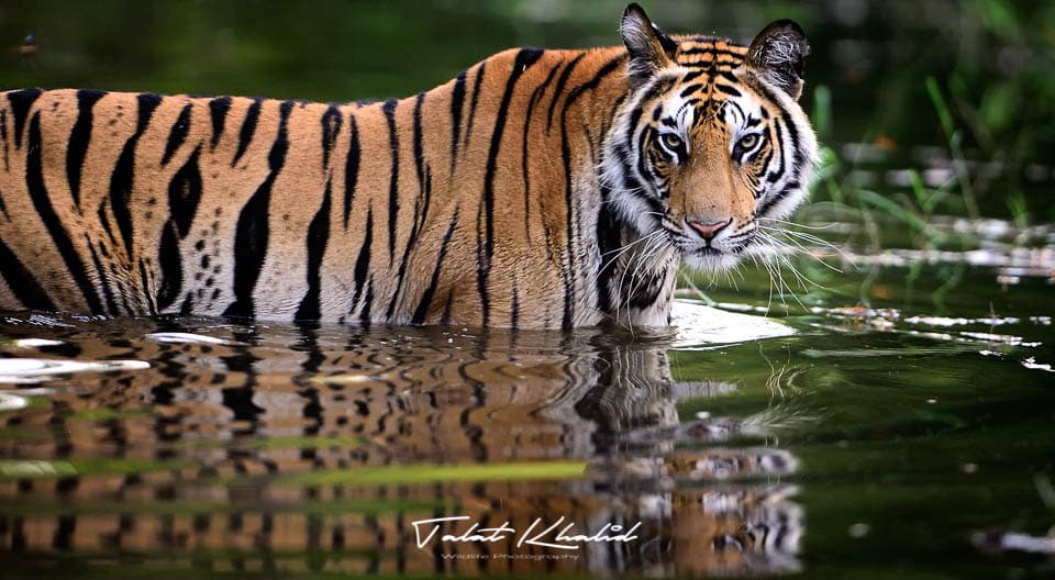 Tiger in Water - Bandhavgarh - Tiger Photography