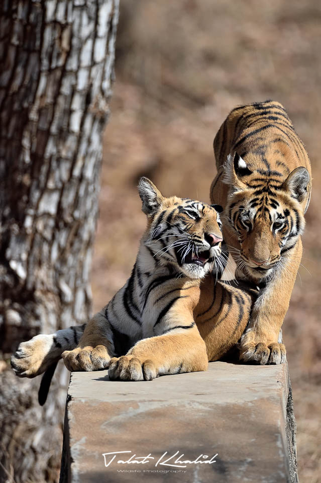 Tiger cubs - tadoba - tiger photography