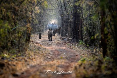 Tiger family - tadoba - Tiger Photography