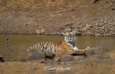 Tigress cooling in waterhole in Tadoba.