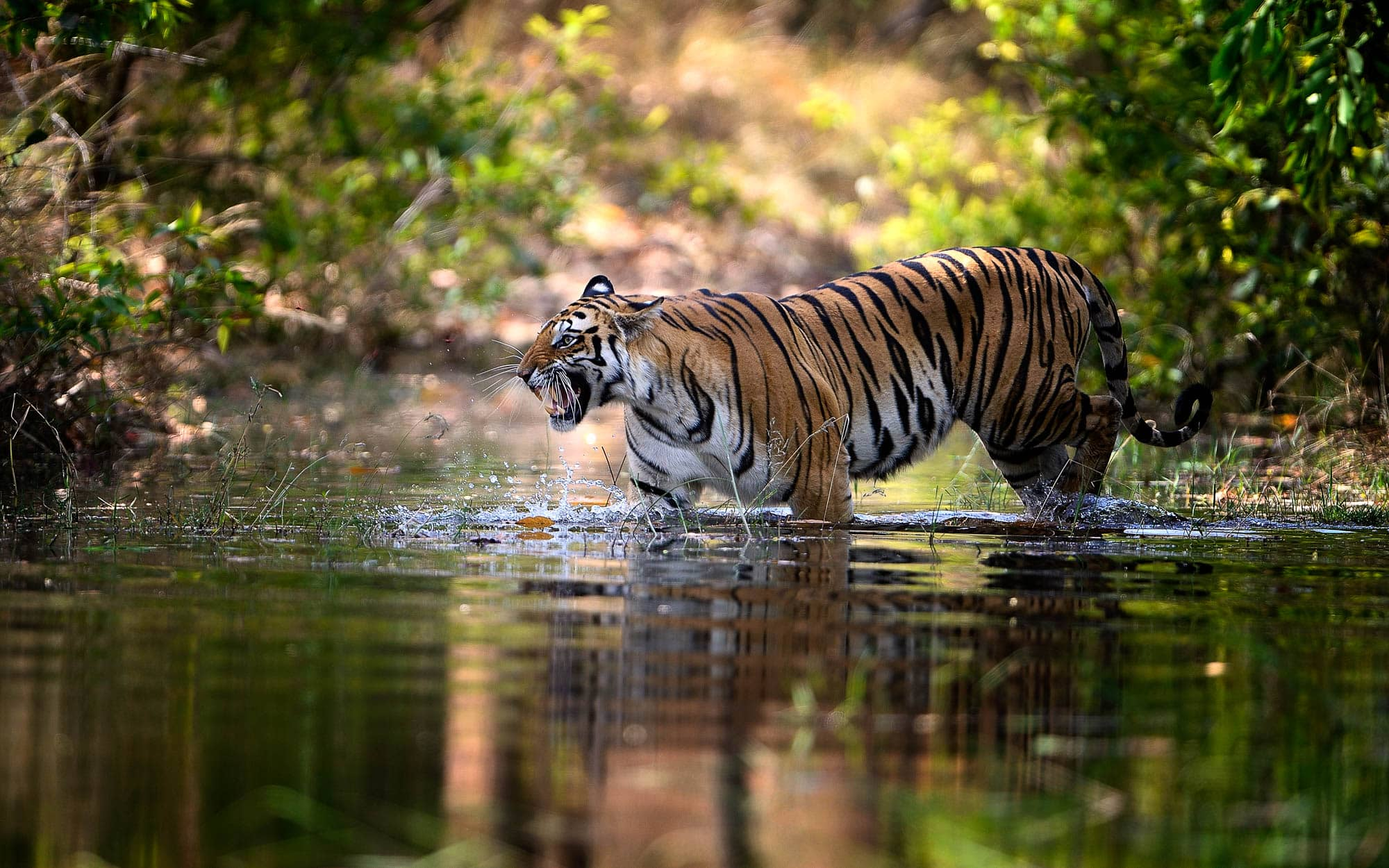 tigress in water in bandhavgarh tour