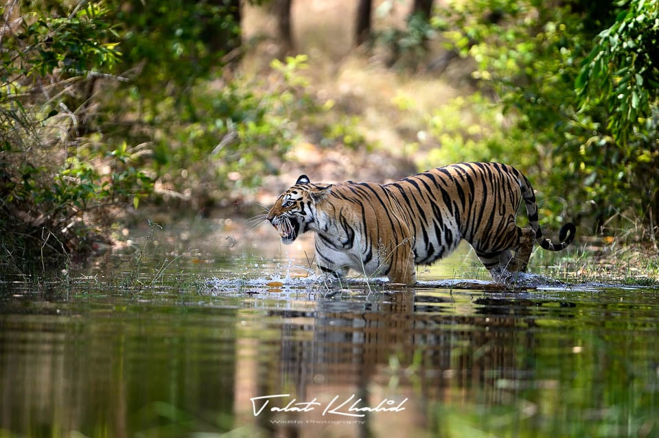 Tigress in water - Bandhavgarh - Tiger Photography