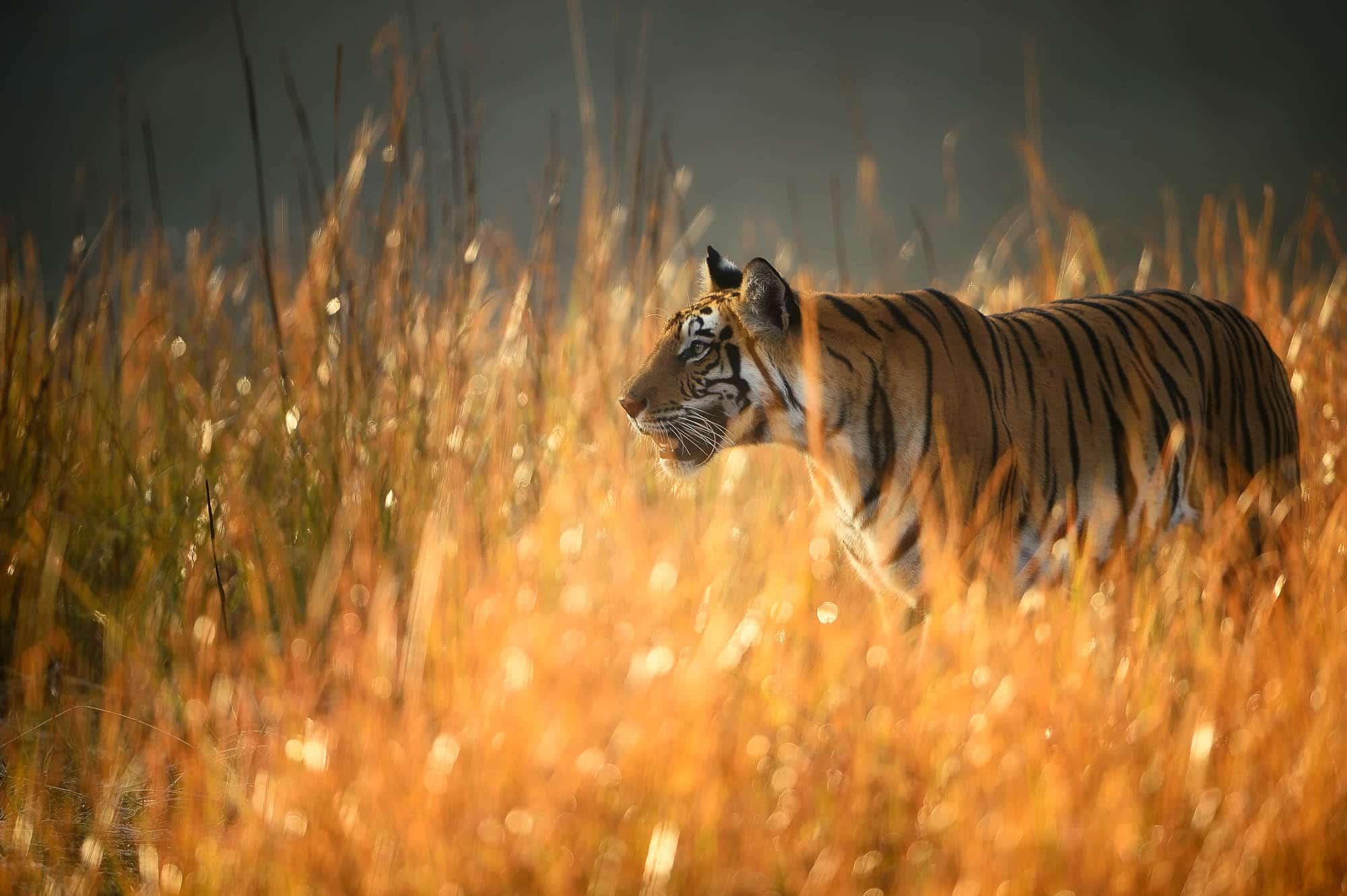 Tiger Backlit Grass -Bandhavgarh - Ranthambore - Tiger Photography Tour