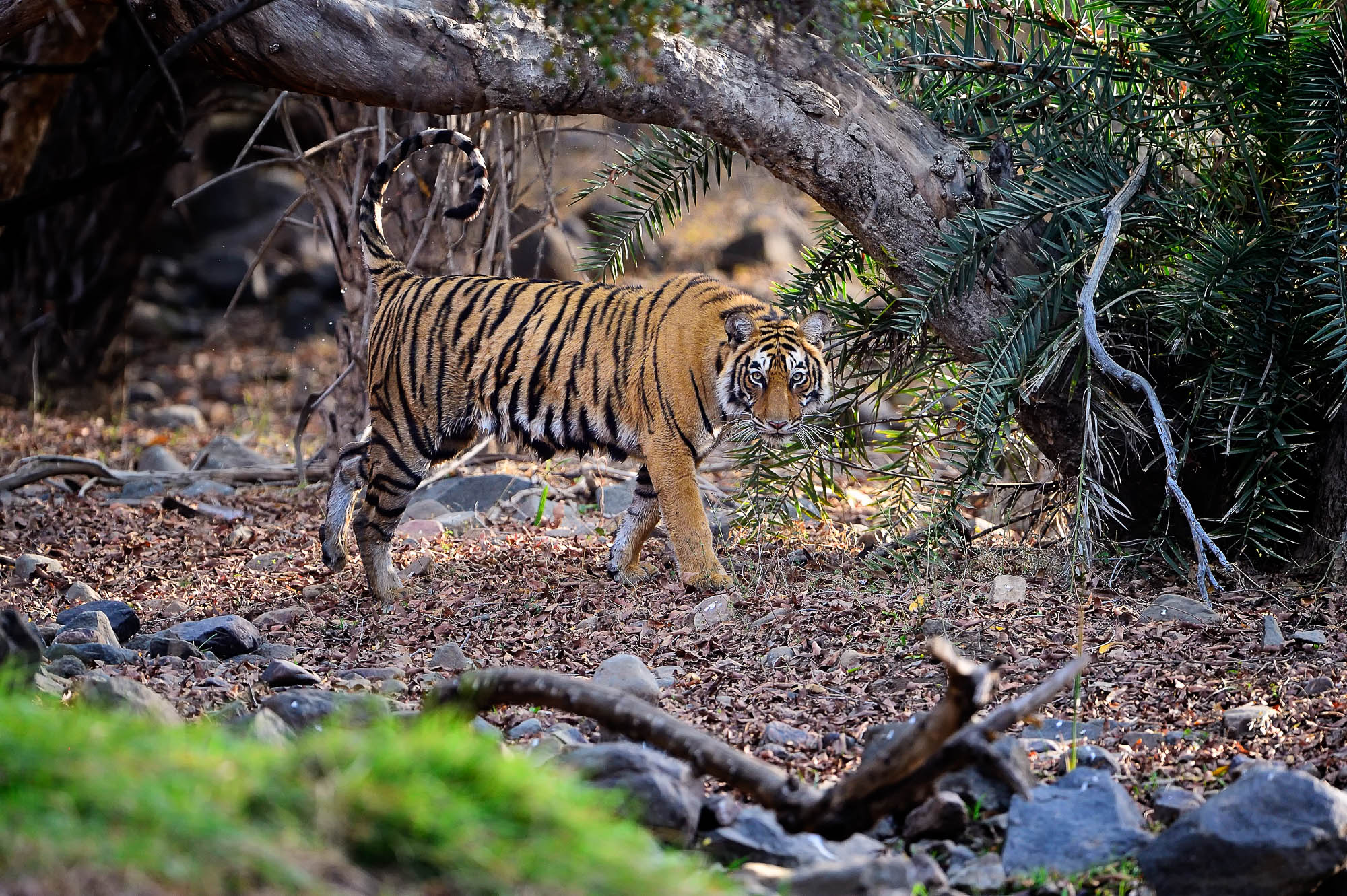 Tiger Ranthambore - Tigers Photography Tour